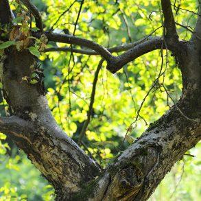 St. Augustine Love Trees