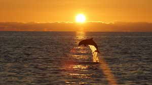 dolphin jumping in sunset